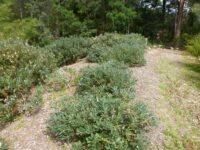 Banksia paludosa - swamp banksia