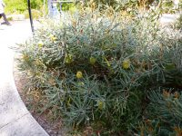 Banksia pilostylis has large yellow flowers