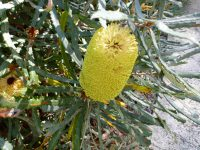 Banksia pilostylis has large yellow nectar rich flowers