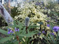 Banksia plagiocarpa - Hinchinbrook banksia