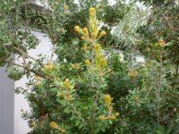 Banksia praemorsa - cut-leaf banksia