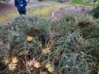 Banksia rufa