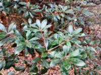 Banksia saxicola