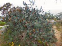 Banksia sceptrum - sceptre banksia