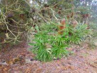 Banksia seminude - river banksia