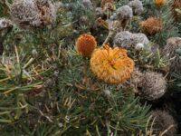 Banksia sphaerocarpa has flowers that look like a little fox
