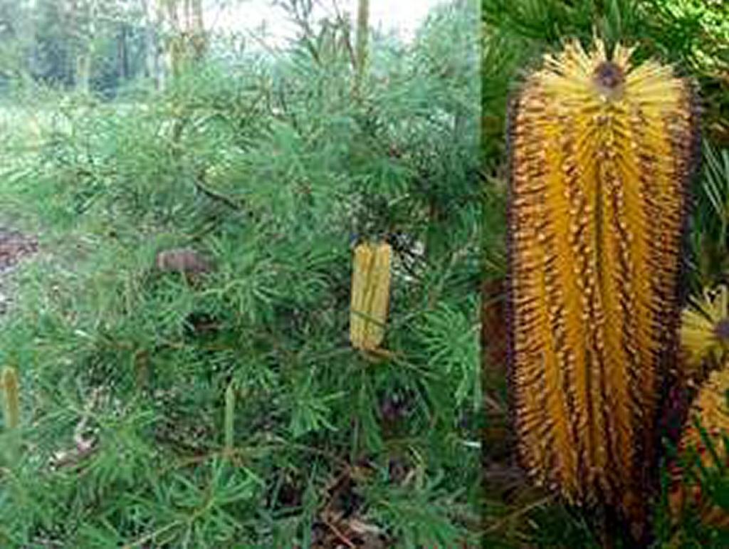 Australian native shrubs gardening with angus for Garden plants