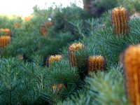 Banksia spinulosa 'Bush Candles'