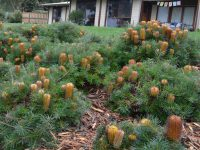 Banksia spinulosa 'Cherry Candles' is a stunning Australian groundcover