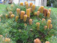 Banksia spinulosa 'Cherry Candles'