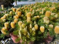 Banksia spinulosa hairpin banksia 'Birthday Candles'
