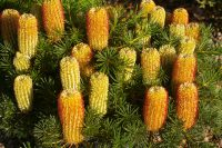 Banksia spinulosa hairpin banksia 'Coastal Cushion'