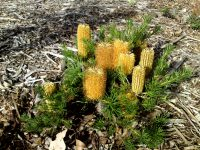 Banksia spinulosa hairpin banksia 'Stumpy Gold'