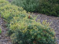 Banksia spinulosa 'Stumpy Gold'