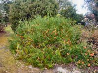 Banksia telmatiaea - swamp fox banksia