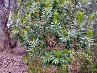 Banksia verticillata - Albany granite banksia