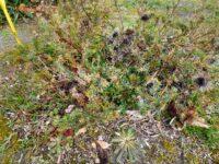 Banksia violacea - violet banksia