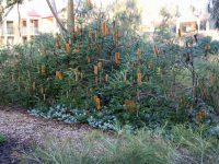 Banksia 'Yellow Wing'