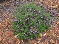 Bauera rubiodes x sessiliflora 'Rose Carpet'