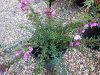 Bauera rubioides x sessiliflora Rose Carpet river dog rose