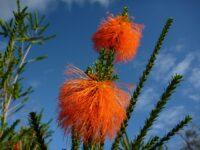 Beaufortia sparsa - swamp bottlebrush