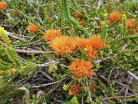 Beaufortia squarosa - sand bottlebrush
