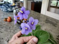 Boea hygroscopica - native violet flower