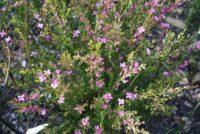Boronia crenulata - aniseed boronia