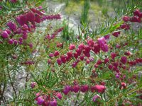 Red boronia has beautiful pendulous red/pink flowers