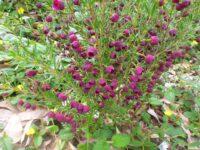 Purple Jared is a hybrid between Boronia megastigma and B. Heterophyllla