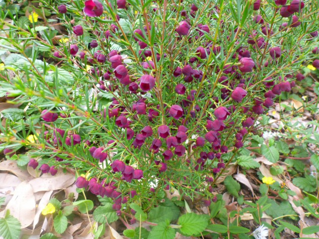 Purple Jared is a hybrid between Boronia megastigma and B. Heterophyllla
