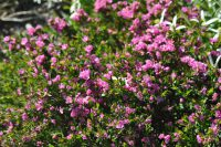 The native rose Boronia serrulata is one of the best perfumed Australian plants