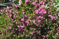 The native rose Boronia serrulata is one of the best perfumed Australian plants