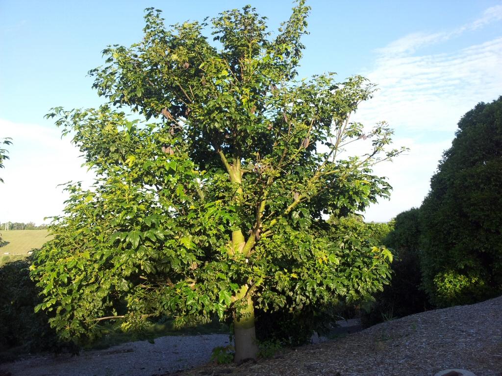 Brachychiton acerifolius illawarra flame tree for Purchase trees