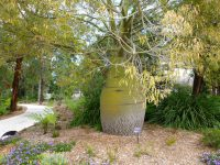 Brachychiton rupestris - bottle tree
