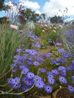 Brachyscome iberidifolia - Swan River daisy