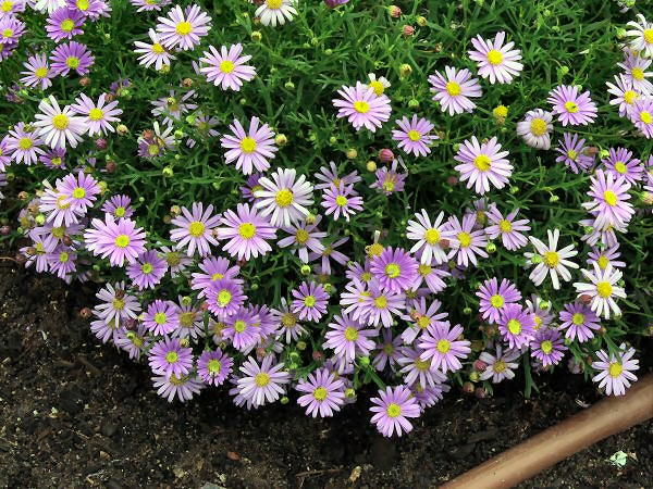 Brachyscome 'Mauve Delight'