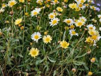Brachyscome native daisy 'Jumbo Yellow'