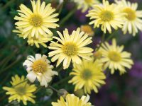 Brachyscome native daisy 'Lemon Twist'