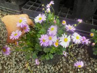 Brachyscome native daisy 'Pacific Coast'