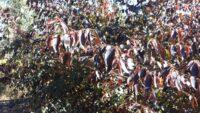 Breynia cernua 'Ironstone Range'