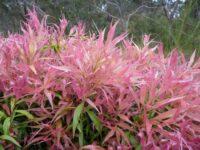 Callistemon citrinus bottlebrush 'Great Balls of Fire'