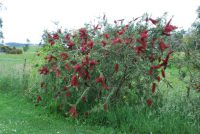 Callistemon forrestae bottlebrush 'Genoa Glory'