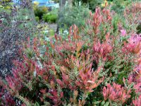 Callistemon 'All Aglow' - Bottlebrush