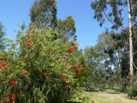 Callistemon hybrid bottlebrush 'Four Seasons'
