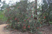 Callistemon phoeniceus - bottlebrush
