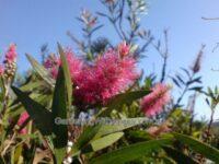 Callistemon salignus hybrid bottlebrush 'Cameo Pink'