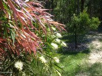 Callistemon salignus - bottlebrush
