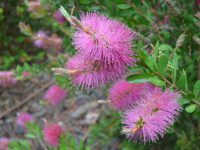 Callistemon viminalis 'Hot Pink' is a great hardy australian shrub