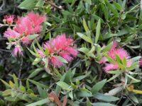 Callistemon viminalis 'Pink Alma'